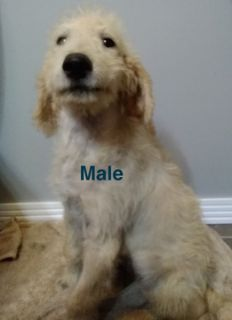 Labradoodle PUPPY FOR SALE ADN-104146 - F1B Labradoodle Male Puppy