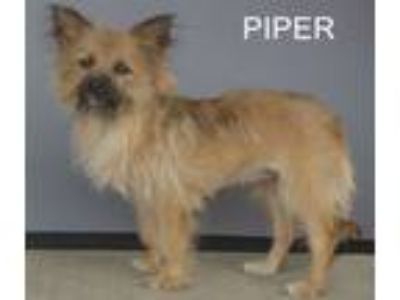 Adopt Piper a Yorkshire Terrier