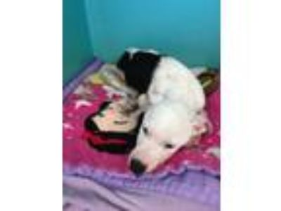 Adopt PeeWee a Pit Bull Terrier, Mixed Breed