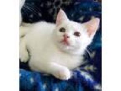 Adopt Marshmallow a White Domestic Shorthair (short coat) cat in Greenville