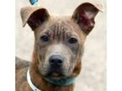 Adopt Pookie a American Staffordshire Terrier, Boxer