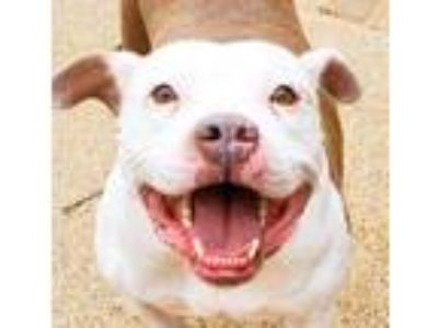 Adopt Phoebe a Pit Bull Terrier
