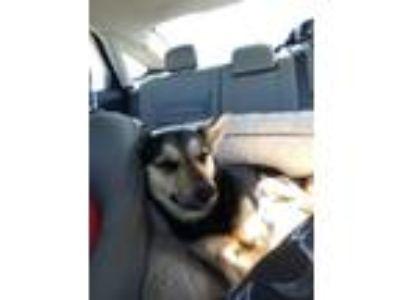 Adopt Rillo a Black - with Tan, Yellow or Fawn Corgi / German Shepherd Dog dog
