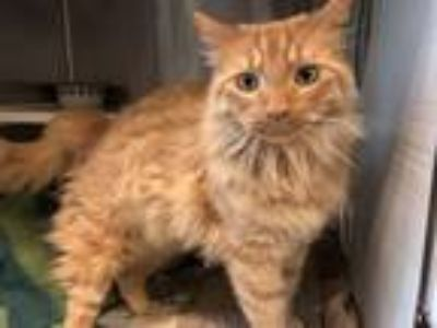 Adopt Dempsey a Orange or Red Domestic Longhair / Mixed cat in Merriam