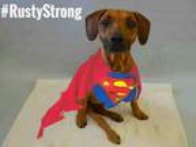 Adopt Rusty a Brown/Chocolate Dachshund / Affenpinscher / Mixed dog in