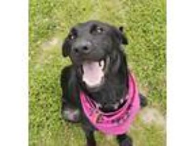 Adopt Phoenix a Black Labrador Retriever / Mixed dog in Woodburn, OR (25563443)