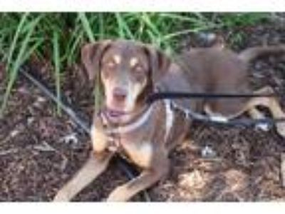 Adopt Nova a Brown/Chocolate - with Tan Labrador Retriever / Mixed dog in Yuba