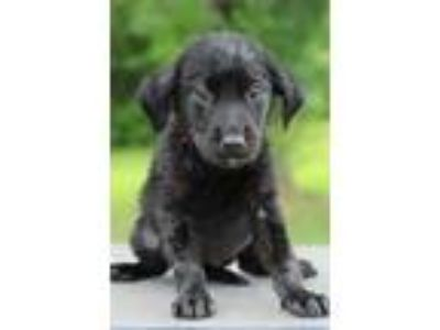 Adopt Camy a Black Labrador Retriever / Mixed dog in Waldorf, MD (25650574)