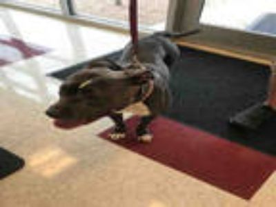 Adopt NALA a Gray/Silver/Salt & Pepper - with White American Pit Bull Terrier /