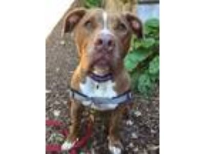 Adopt Crosby a Brindle - with White Pit Bull Terrier / Mixed dog in Briarcliff