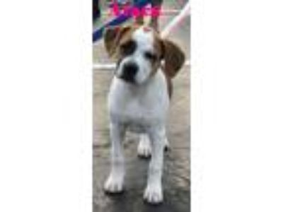 Adopt Atara a Terrier (Unknown Type, Small) / Boxer / Mixed dog in Raleigh