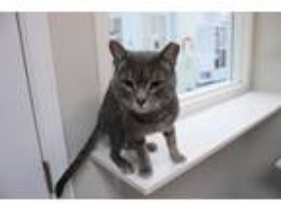 Adopt Kellogg a Domestic Mediumhair / Mixed cat in Raleigh, NC (22329743)