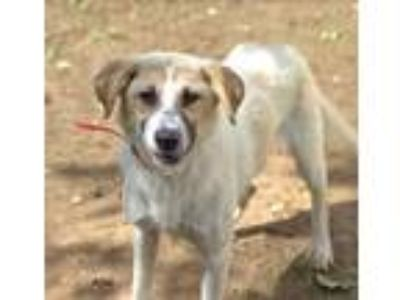 Adopt Ajax a Tan/Yellow/Fawn Collie / Spaniel (Unknown Type) dog in Camden