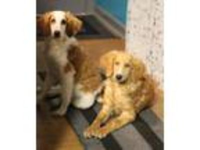 Adopt Sasha/Grace a White - with Red, Golden, Orange or Chestnut Labradoodle /