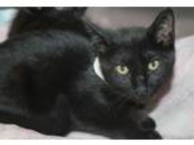 Adopt Shazam a All Black Domestic Shorthair (short coat) cat in Cranston
