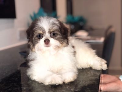Pomeranian PUPPY FOR SALE ADN-101702 - Havapom puppy