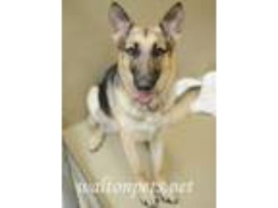 Adopt Dixie a German Shepherd Dog