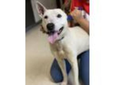 Adopt Puck a Bull Terrier, Mixed Breed