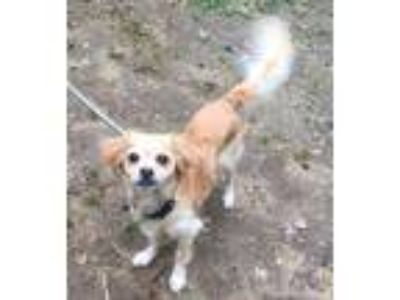 Adopt 377 a Tan/Yellow/Fawn - with White Spaniel (Unknown Type) / Mixed dog in