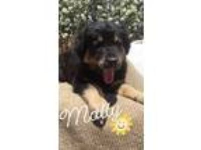 Adopt Molly a Black - with Tan, Yellow or Fawn Australian Shepherd / Rottweiler