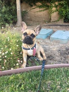 French Bulldog PUPPY FOR SALE ADN-89418 - AKC Male Fawn French Bulldog 5 months old