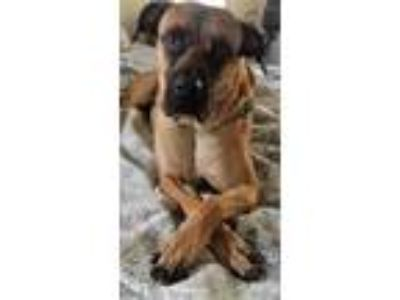 Adopt CoCo a Red/Golden/Orange/Chestnut - with Black Bullmastiff / Mixed dog in