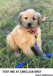 GIVING%100 Golden retriever puppies for sale