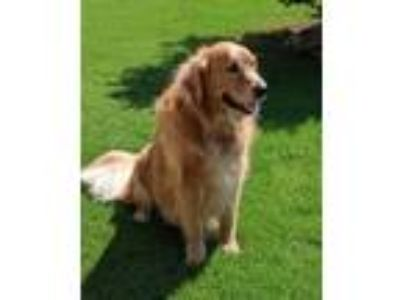Adopt Auggie a Red/Golden/Orange/Chestnut Golden Retriever / Mixed dog in