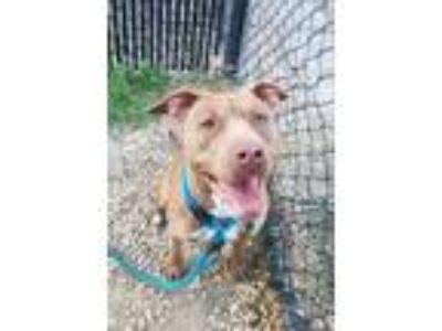 Adopt Glow a Brown/Chocolate American Pit Bull Terrier / Mixed dog in
