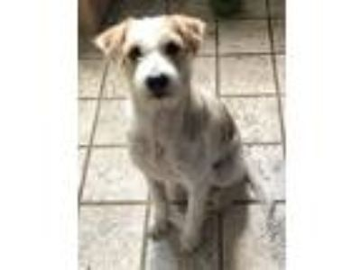 Adopt 'EMILY' a White - with Tan, Yellow or Fawn Airedale Terrier / Mixed dog in