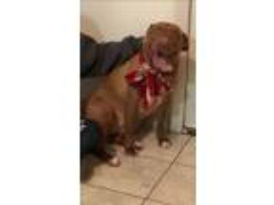 Adopt Zelda a Red/Golden/Orange/Chestnut Border Terrier / Labrador Retriever /