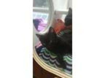 Adopt Gus a All Black Domestic Shorthair / Domestic Shorthair / Mixed cat in