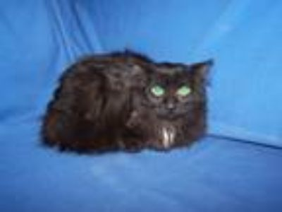 Adopt Alix a Domestic Long Hair