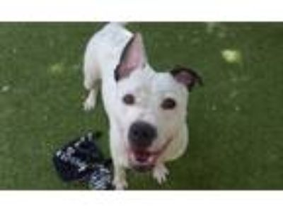 Adopt *KALINA a White - with Black American Pit Bull Terrier / Mixed dog in