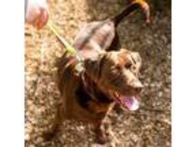 Adopt Scotty a Brown/Chocolate Labrador Retriever / Mixed dog in Corvallis