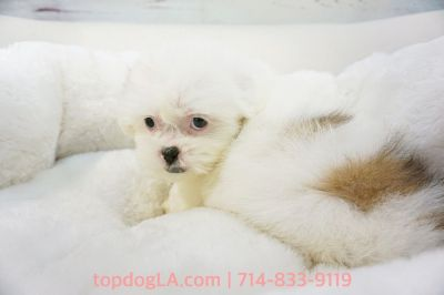 Mal-shi Puppy - Female - Elaine ($1,299)