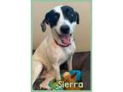 Adopt Sierra a White - with Black Labrador Retriever / Pointer / Mixed dog in