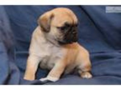 Cute, home-raised Pug-mix Posie is available!