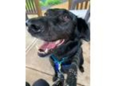 Adopt Max B. a Black Labrador Retriever, Golden Retriever