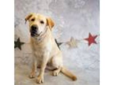 Adopt Pen 145$ Willie a Labrador Retriever