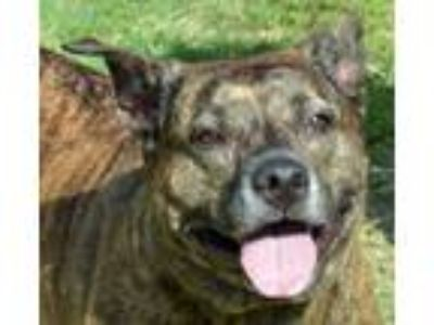 Adopt Lacey a Brindle American Pit Bull Terrier / Shepherd (Unknown Type) /