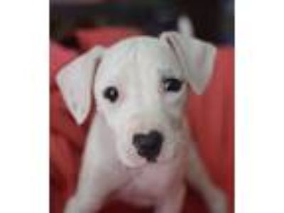 Adopt Mandy a White - with Black Bull Terrier / Staffordshire Bull Terrier /
