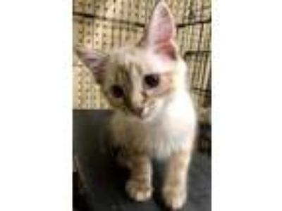 Adopt Zhivago a Cream or Ivory Siamese / Domestic Shorthair / Mixed cat in