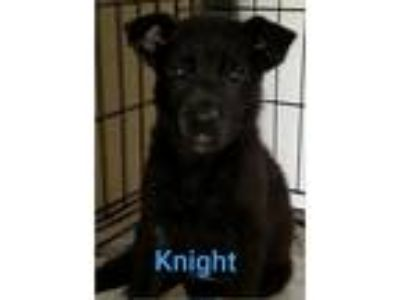 Adopt Knight a Black Labrador Retriever / German Shepherd Dog / Mixed dog in