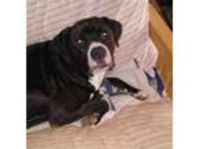 Adopt Rocky a Black - with White Boxer / Labrador Retriever / Mixed dog in