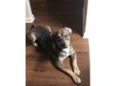 Adopt Choco a Tricolor (Tan/Brown & Black & White) German Shepherd Dog / Bull