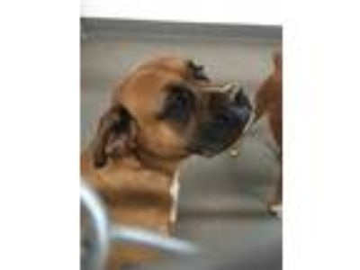 Adopt CEECOE a Brown/Chocolate Boxer / Mixed dog in Hesperia, CA (25901857)