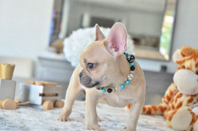 French Bulldog PUPPY FOR SALE ADN-99397 - Blue Fawn Male Skittles