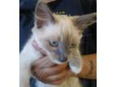 Adopt Matty a Siamese, Domestic Short Hair