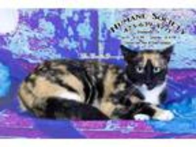 Adopt Candy / AC 19253B a Calico / Mixed (short coat) cat in Greeneville